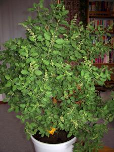 Tulsi-Devi, die heilige Pflanze, die Krishna sehr lieb ist