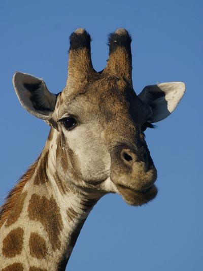 140212-giraffe